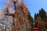愛宕山のシダレザクラ