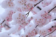 岩手県の桜
