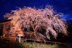 槍沢の枝垂れ桜