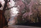 角館 表町下丁のしだれ桜