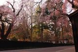 角館 板塀としだれ桜