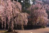 角館 満開のしだれ桜