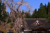 龍巌寺のシダレザクラ