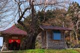 龍巌寺のエドヒガン