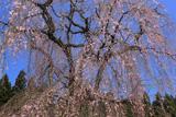 支所の枝垂れ桜