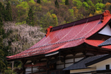 雲岩寺のしだれ桜