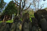 雲岩寺のシダレザクラ