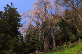 雲岩寺の枝垂れ桜