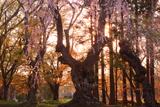 大星神社のシダレザクラ
