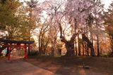 大星神社の枝垂桜