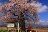 戊辰戦争史跡の枝垂桜