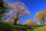 古城山の姥桜