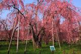 米内浄水場のヤエベニシダレ桜群