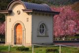 米内浄水場のベニシダレ桜群