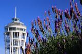 江の島 ラベンダーと展望灯台
