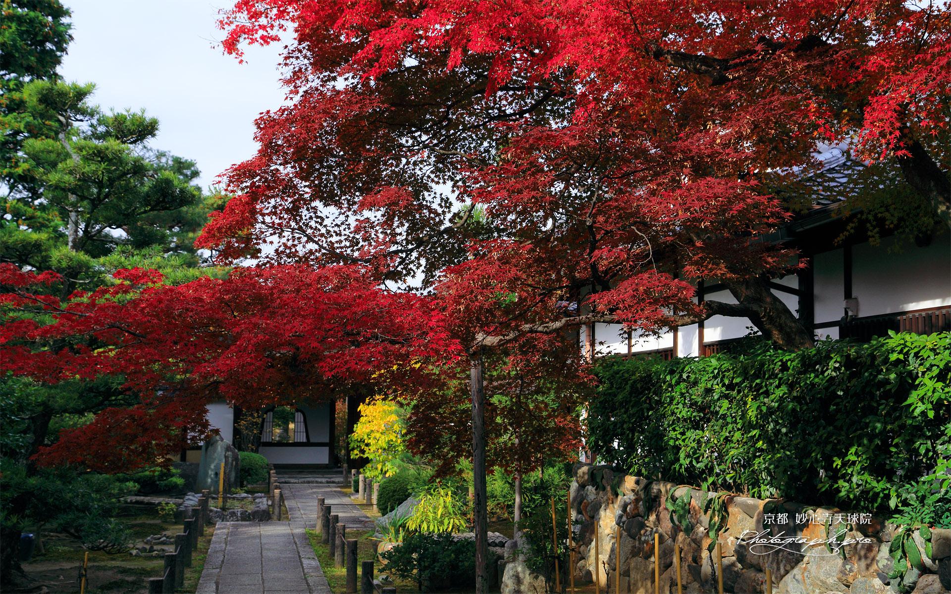 天球院 ワインレッドの紅葉