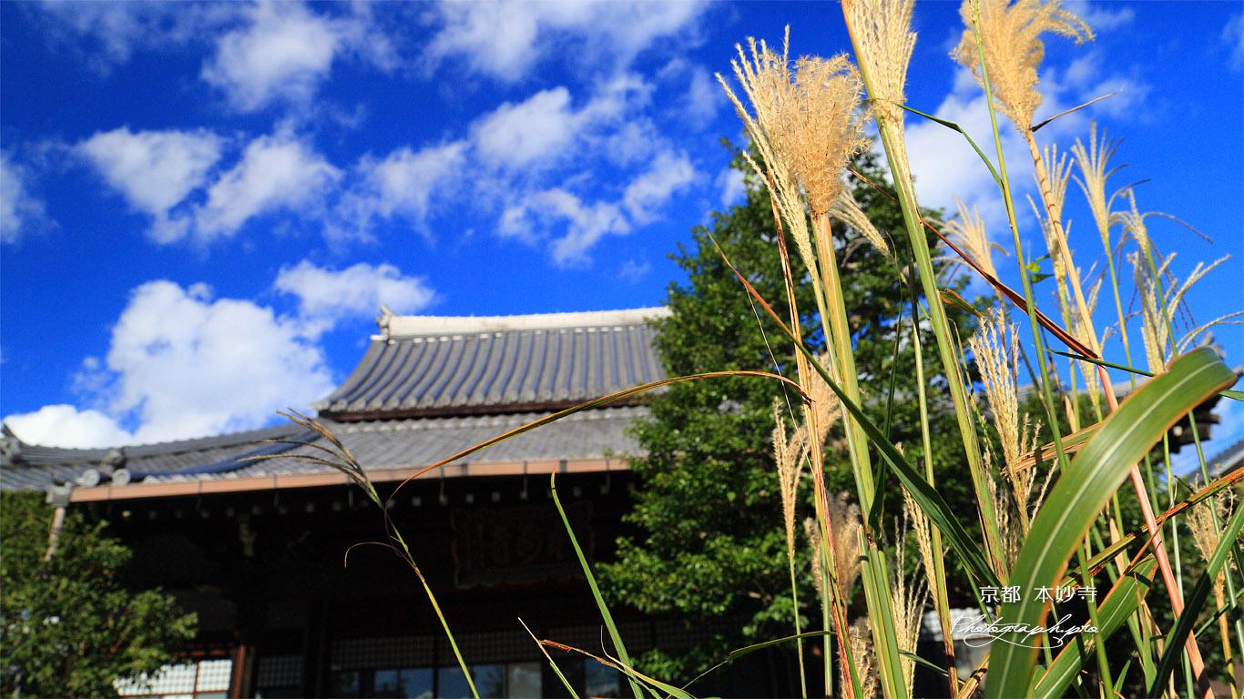 本妙寺 ススキと本堂 壁紙