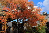 檀王法林寺 桜紅葉と名号碑