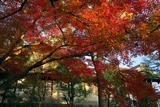 大谷祖廟 紅葉越しの総門