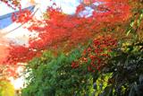 石塔寺 南天と紅葉