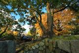 淀城跡公園 石垣に大楠と銀杏黄葉