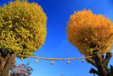 與杼神社 二本の大銀杏黄葉