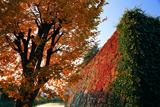 淀城跡公園 内堀石垣の蔦紅葉