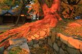 淀城跡公園 大楠の根と公孫樹落葉