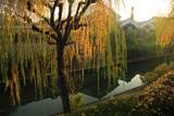 月桂冠大倉記念館 東濠川の柳黄葉