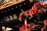 龍雲寺 桜紅葉と本堂
