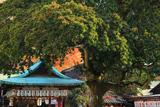 金札宮 クロガネモチと拝殿