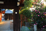 恋塚浄禅寺 山茶花と地蔵堂