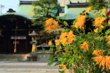 元祇園社 嵯峨菊