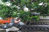 長講堂 瓦の意匠と紅葉