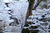 浄土院 雪蝋梅