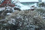 大巧寺 雪中の白梅