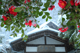 別願寺 雪中のツバキ