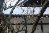 浄光明寺 白梅と屋根雪