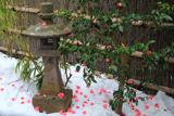 補陀洛寺 雪上の落侘助