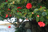 大宝寺 ツバキと残雪