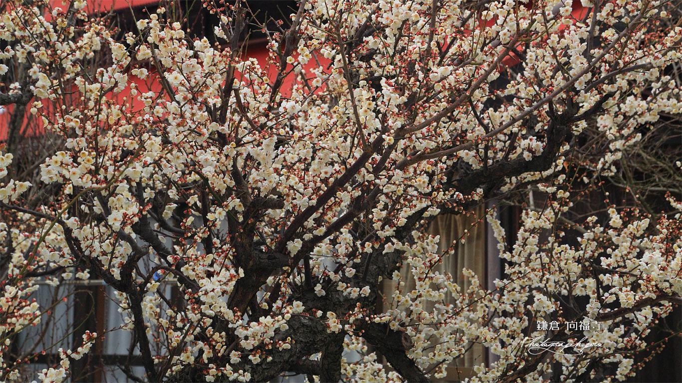 鎌倉 向福寺の白梅 壁紙