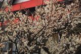 鎌倉 向福寺の白梅