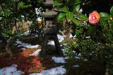 鎌倉霊光寺 寒ツバキと斑雪