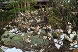 本龍寺 白梅と残雪