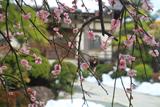 東漸寺 枝垂れ梅と残雪