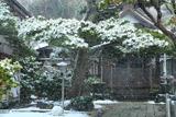 鎌倉本成寺 雪中の松