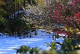 龍宝寺 梅と雪景色
