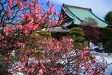 龍華寺 紅梅と雪景色