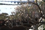 成福寺 白梅と残雪の山門