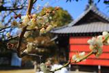 鎌倉 厳島神社の白梅